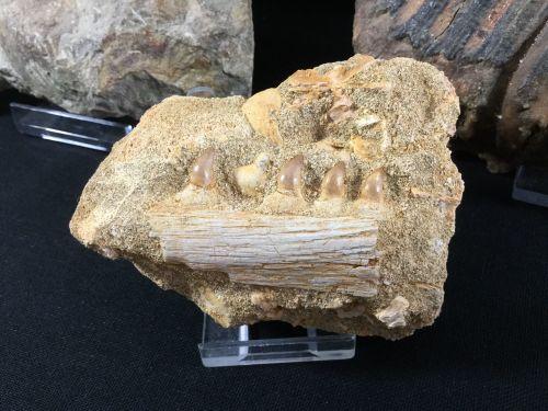 Halisaurus Mosasaur Jaw #02