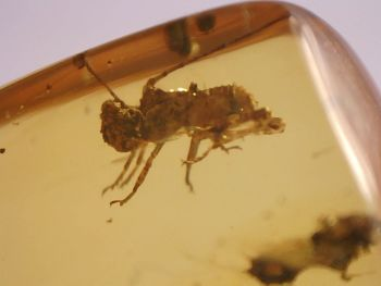 Burmite Amber with Nice Orthoptera Inclusion