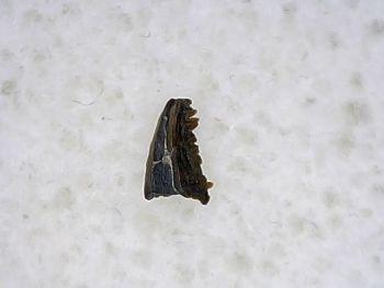 Pectinodon Tooth #06
