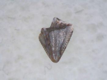 Pseudosuchian Tooth #02