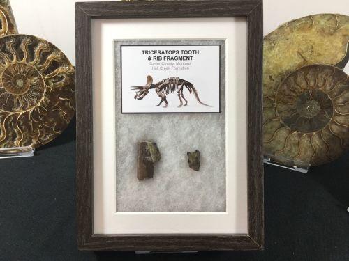 Triceratops Fossils - Tooth & Rib (Framed)
