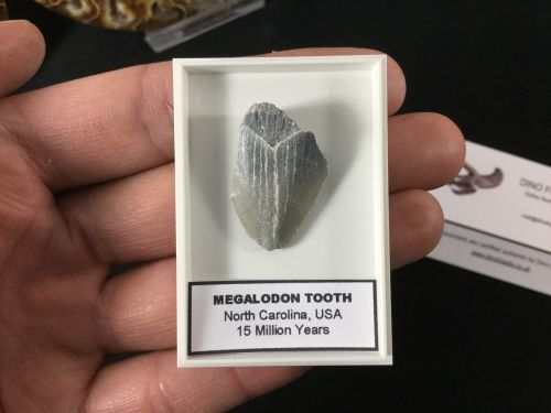 Megalodon Tooth - 1 inch #MT12