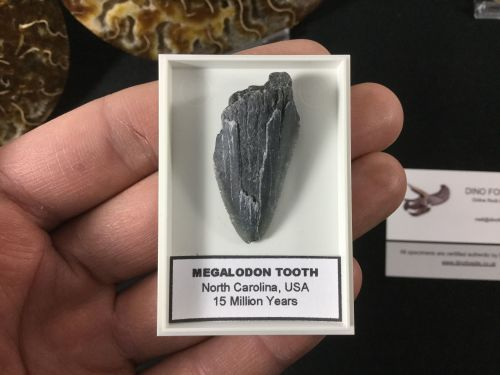 Megalodon Tooth - 1.38 inches #MT42