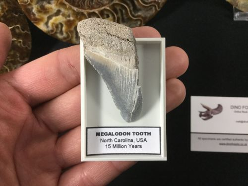 Megalodon Tooth - 2 inches #MT44