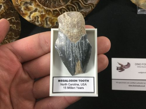 Megalodon Tooth - 2.06 inch #MT49