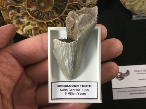 Megalodon Tooth - 2.25 inch #MT50