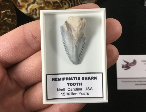 Hemipristis (Snaggletooth Shark) Tooth #03