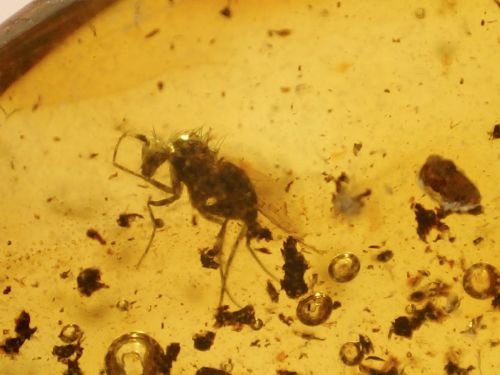 Baltic Amber #23 - Fly Inclusion