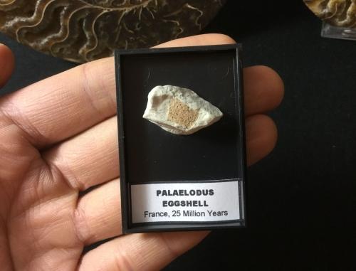 Palaelodus Eggshell #01