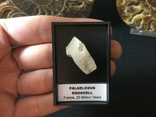 Palaelodus Eggshell #06