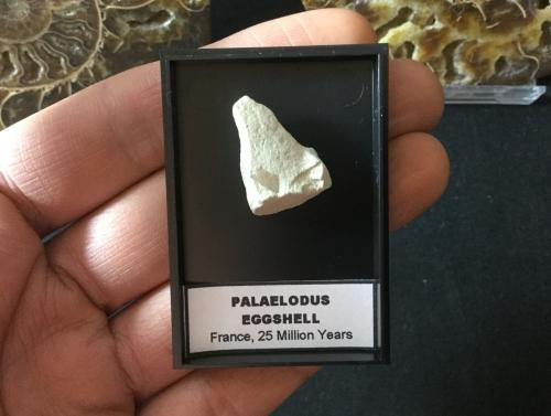 Palaelodus Eggshell #07