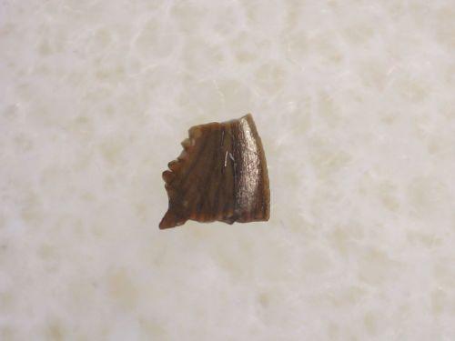 Pectinodon Tooth #01
