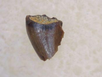 Pectinodon Tooth #08