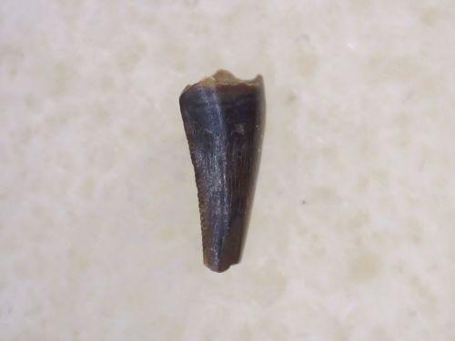 Richardoestesia Tooth #24