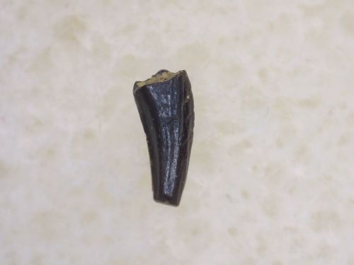 Small Theropod Tooth #26