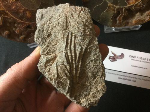 Scyphocrinites Crinoid, Morocco #01