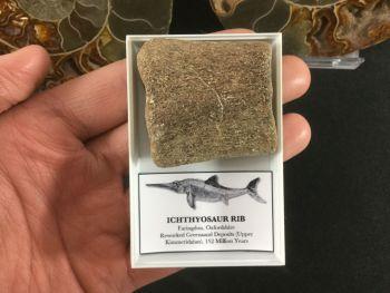 Ichthyosaur Rib #04