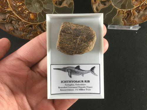 Ichthyosaur Rib #05