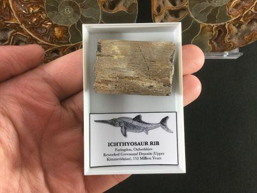 Ichthyosaur Rib #06