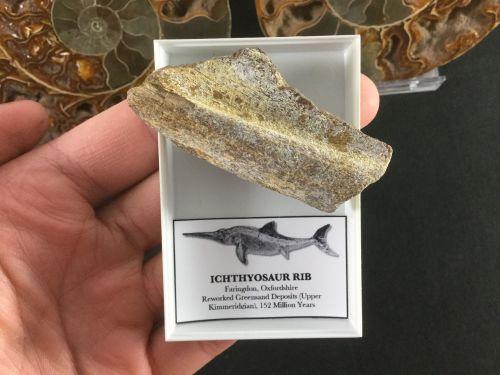 Ichthyosaur Rib #07