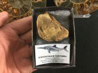Ichthyosaur Vertebra #01