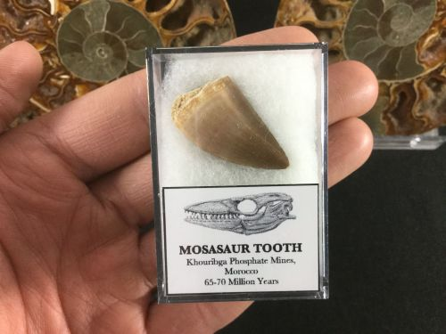 Mosasaur Tooth #09