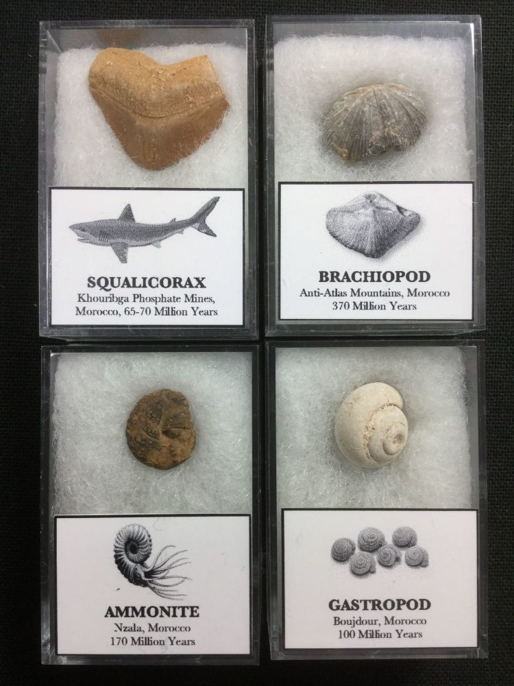 Fossil Collection (Marine Fossils of Morocco)