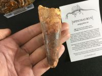 Spinosaurus Tooth - 3.63 inch #L03