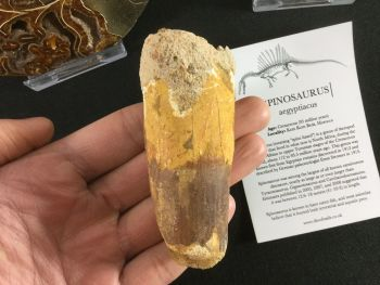Spinosaurus Tooth - 3.25 inch #L01
