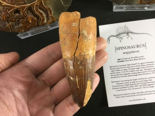 Spinosaurus Tooth - 3.56 inch #L07