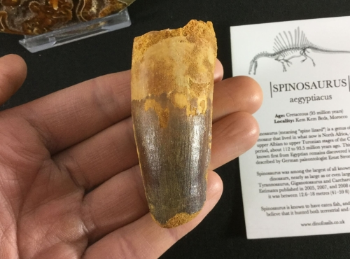 Spinosaurus Tooth - 2.88 inch #L08
