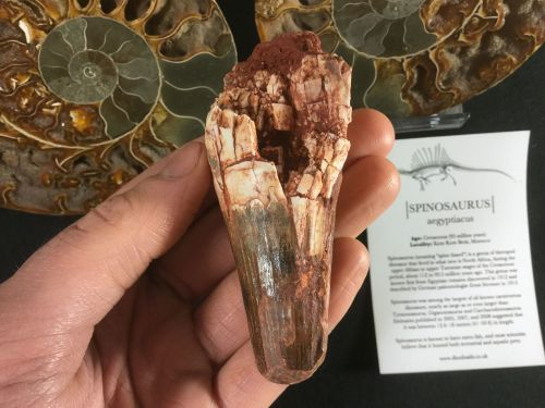 Spinosaurus Tooth - 3.44 inch #L11