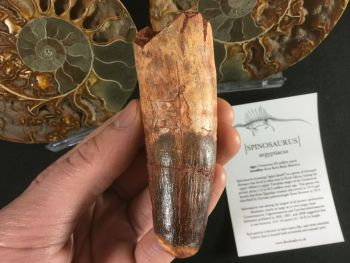 Spinosaurus Tooth - 3.75 inch #L12