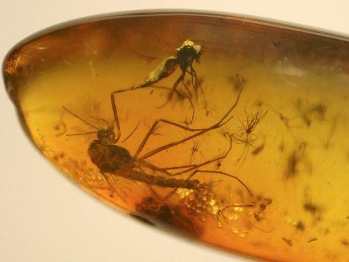 Baltic Amber #BA25 - Fungus Gnat and Midge Inclusions