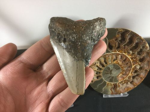 Megalodon Tooth - 3.19 inch #L02