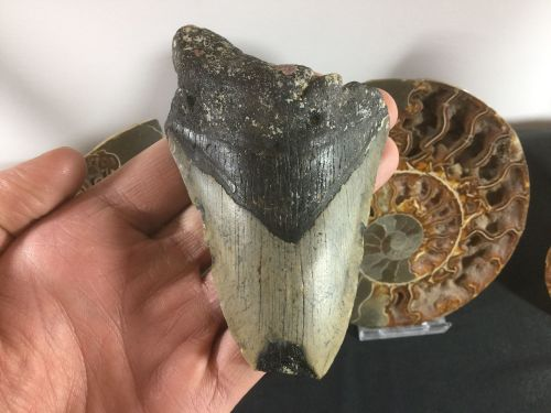 Megalodon Tooth - 4 inch #L04