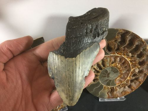 Megalodon Tooth - 4.88 inch #L10