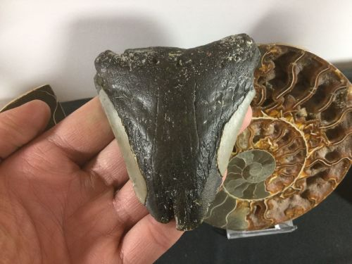 Megalodon Tooth - 3.38 inch #L11