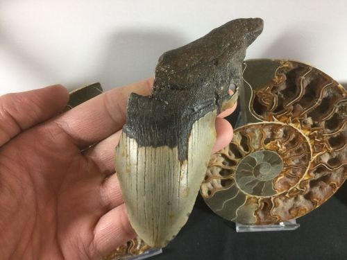 Megalodon Tooth - 4.75 inch #L14