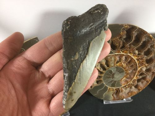 Megalodon Tooth - 4.25 inch #L18