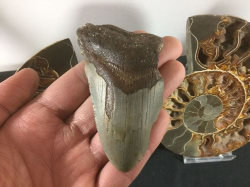 Megalodon Tooth - 3.63 inch #L06
