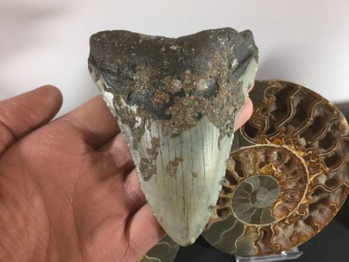 Megalodon Tooth - 4.31 inch #L22