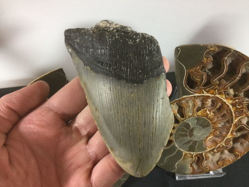Megalodon Tooth - 4.44 inch #L23