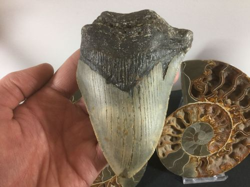 Megalodon Tooth - 4.38 inch #L24