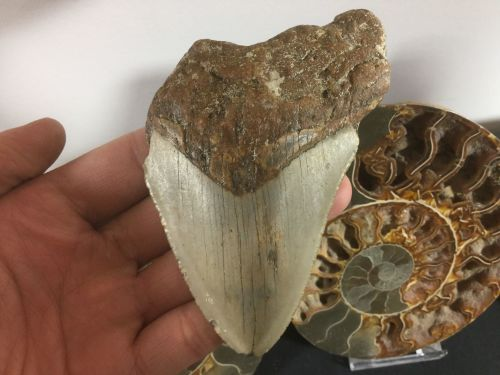 Megalodon Tooth - 4.38 inch #L25