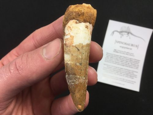 Spinosaurus Tooth - 2.56 inch #SP22