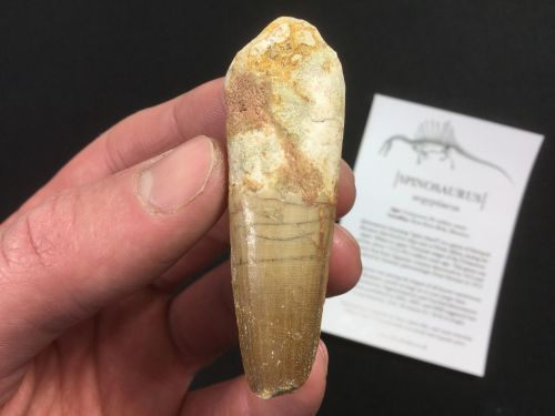 Spinosaurus Tooth - 2.38 inch #SP24