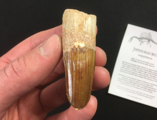 Spinosaurus Tooth - 2.38 inch #SP25