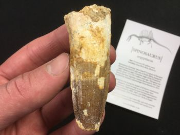 Spinosaurus Tooth - 2.69 inch #SP41