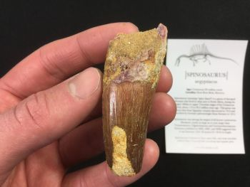 Spinosaurus Tooth - 2.5 inch #SP38